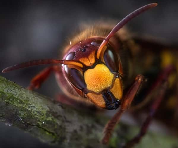 What Is The Asian Giant Hornet, Now In United States, How Dangerous Are The Giant Hornets
